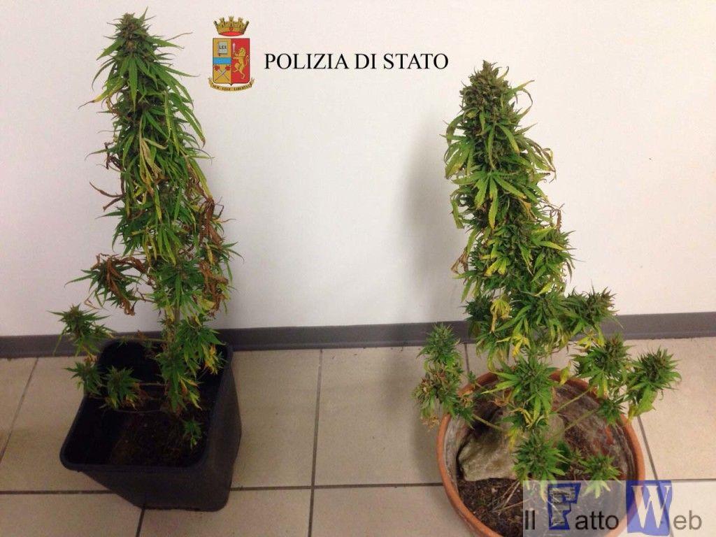 piante cannabis copia
