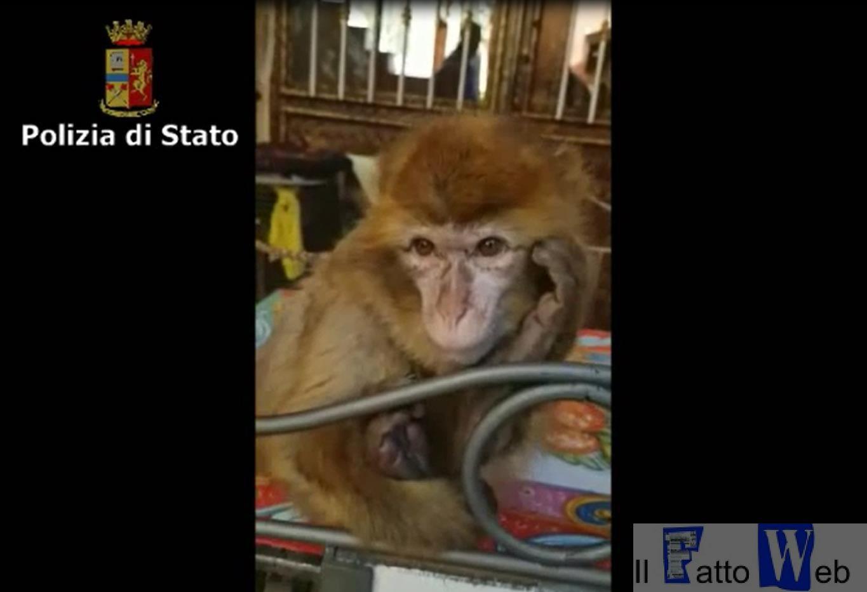Un pregiudicato ruba scimmia a un bambino malato la polizia la ritrova